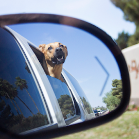 Joy by Cheryl Nestico - Animals - Dogs Playing ( scottsdale, car, rearview mirror, rhodesian ridgeback, window, arizona, mccormick ranch, dog, , Urban, City, Lifestyle )