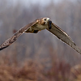 Red-tailed Hawk with Vole by Dan Ferrin - Animals Birds ( bird, nature, red-tailed hawk, wildlife, birds, hawk )