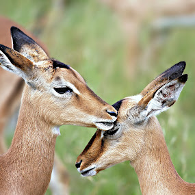 The Kiss by Pieter J de Villiers - Animals Other ( mammals, kiss, animals, other, kruger national park, impala, baby, south-africa,  )