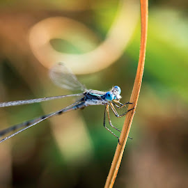 Caught in a Moment by Mya Dee - Animals Insects & Spiders ( insecteyes, bugs, details, blue, bluebugs, wings, wildlife, dragonfly, pond, swamplife, eyes )