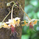 Cacao Flowers and Pods