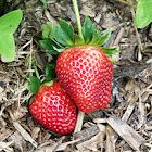 Morango (Strawberry)