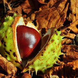 Horse chestnut by Tony Steele - Nature Up Close Gardens & Produce