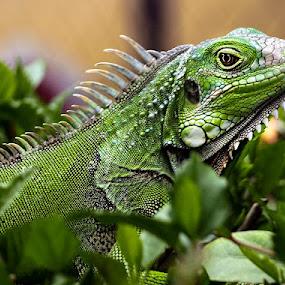 by Roberto Santiago Franqui - Animals Reptiles