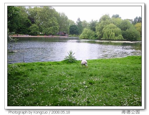 海德公园内的白天鹅