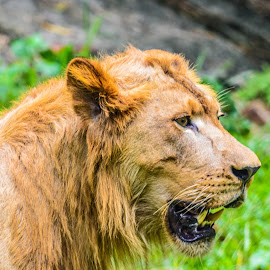 The Lion by Stuart Lilley - Animals Lions, Tigers & Big Cats ( lion, animals, nature, lions, animal,  )