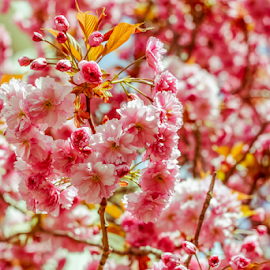 Spring by Kim C - Nature Up Close Gardens & Produce ( canon, macro, 50mm, flowers, spring, cherry blossoms )