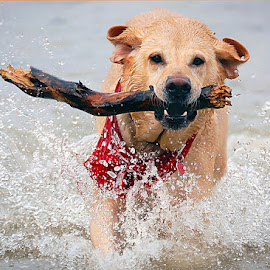 Return of the Sacred Sycamore Staff by Dom J Manalo - Animals - Dogs Running ( playing, retrievers, dog, labrador, lab )