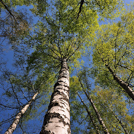 Birches by Eugenija Seinauskiene - Nature Up Close Trees & Bushes ( birch, sky, tree, green,  )