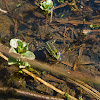 Edible Frog / Water Frog