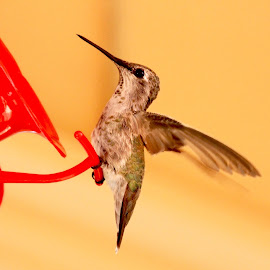 Take Off by Sandie Lawler - Novices Only Wildlife ( hollywood hills, hummingbird )