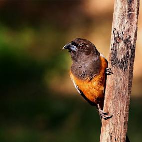 Rufous Treepie.. by Nithya Purushothaman - Animals Birds