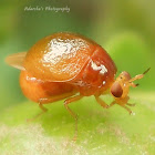 Beetle fly
