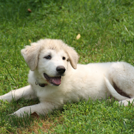 Milo by Ellee Neilands - Animals - Dogs Puppies ( canine, great pyrenees, pet, puppy, dog )