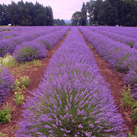 Lavender fields by Steve Munford - Flowers Flower Gardens ( oregon, portland, nature, lavender, flowers )