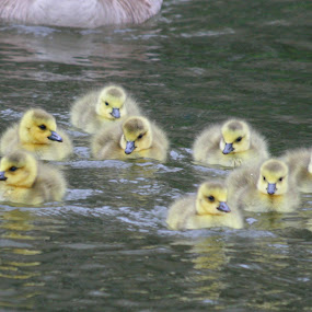 Baby Geese by Peter Andrusyszyn - Animals Birds ( photo by pete andrusyszyn )