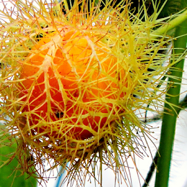 Passiflora foetida fruit by Yusop Sulaiman - Nature Up Close Other plants