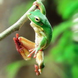 one arm pull ups by DODY KUSUMA  - Animals Amphibians