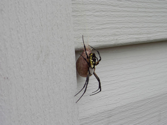 Black and yellow garden spider with egg sac project noah for Garden spider egg sac