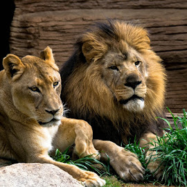 my pair 2 by Gregg Pratt - Animals Lions, Tigers & Big Cats ( lion )