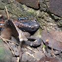 Broad-footed Salamander