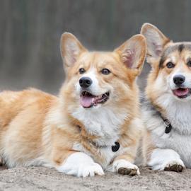 Retu and Sakke by Mia Ikonen - Animals - Dogs Portraits ( obedient, friends, pembroke welsh corgi, finland, males,  )