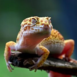 Leopard Gecko by Dikky Oesin - Animals Reptiles ( tame, wild, lizard, gecko, reptile, eyes )