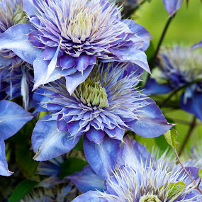 Blue Clematis by Kelvin Watkins - Flowers Flower Gardens ( climbing, bright, clematis, blue, flower )