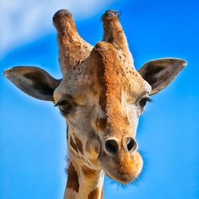 Giraffe by Cristobal Garciaferro Rubio - Animals Other Mammals