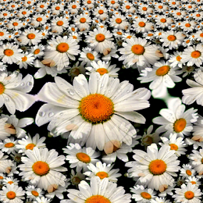 Shasta Daisy Fractal Abstract by Tina Dare - Digital Art Abstract ( abstract, shasta, nature, pattern, white, daisy, fractal, digital, design, flower, shapes,  )