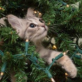 Christmas Wonder by Jennifer McWhirt - Animals - Cats Kittens ( cat, kitten, tree, photographybyjenmcwhirt.com, kittens playing, wonder, christmas,  )