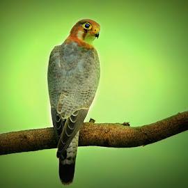 Red-necked falcon  by Prasanna Bhat - Animals Birds