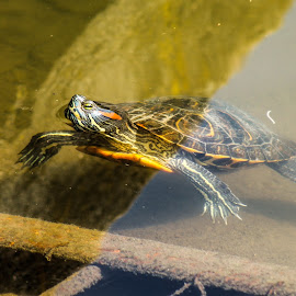 Turtle by Daniel Chobanov - Animals Other ( little, lazy, turtle, catching, sun )
