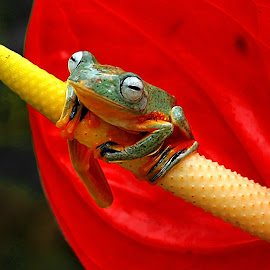 by Benny Sugiarto Eko Wardojo - Animals Amphibians
