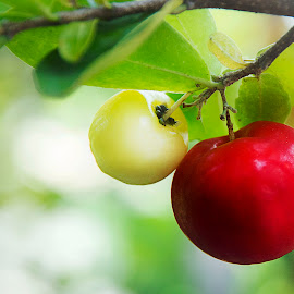 by Shirley Lee - Food & Drink Fruits & Vegetables ( cherry, red, nature, green, fruits )