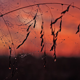 Spider web at sunrise by Jonathan Abrams - Nature Up Close Webs ( grass, color, dew, web, sunrise, spider web )
