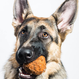 Ball by Preston Trauscht - Animals - Dogs Portraits ( ball, dog, german shepherd, portrait, eyes )