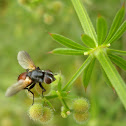 Bicolor Tachinid Fly