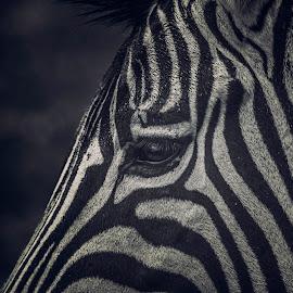 l'oeil du Zebre by Serge Thonon - Animals Horses (  )