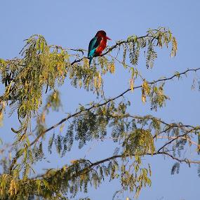 by Ahsan  Niaz - Animals Birds