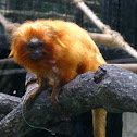 Golden Lion Tamarin or Golden Marmoset