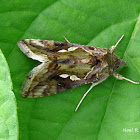 Green Garden Looper Moth