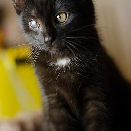 Pancakes thief by Cassandra G - Animals - Cats Kittens ( cats, kitten, black cat, animal )