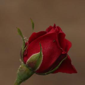 by Gael Decoudu - Flowers Single Flower (  )