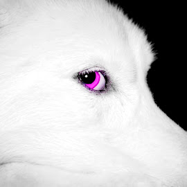 Pink eyed Husky by Lisa Manyette - Animals - Dogs Portraits ( pink eyes, black and white, dog eyes, white, pink, dog, eyes, selective color, pwc, the mood factory, mood, lighting, sassy, colored, colorful, scenic, artificial, lights, scents, senses, hot pink, confident, fun, mood factory  )