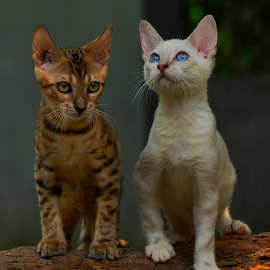 Bengal by Cacang Effendi - Animals - Cats Portraits ( cats, cattery, kitten, chandra, animal )