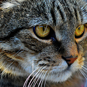 Focused! by Manuela Dedić - Animals - Cats Portraits ( #showusyourpets, #garyfongpets,  )