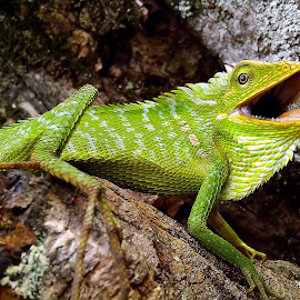 Bunglon surai (green crested lizards)  by Hendrata Yoga Surya - Instagram & Mobile Android