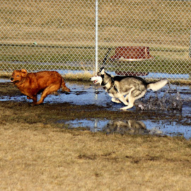 Chase by April Grunwald - Animals - Dogs Running ( water, dog park, mud, dogs, chasing, dogs playing, dogs running, fun, happy dog )