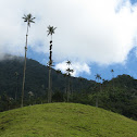 Wax palm tree